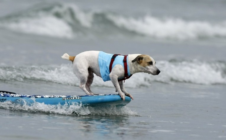 a-jack-russell-hangs-10-on-a-surfboard-at-the-4th-annual-helen-woodwar